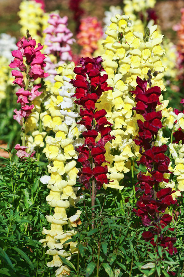 Schöne snapdragon Blumen lizenzfreie stockfotografie