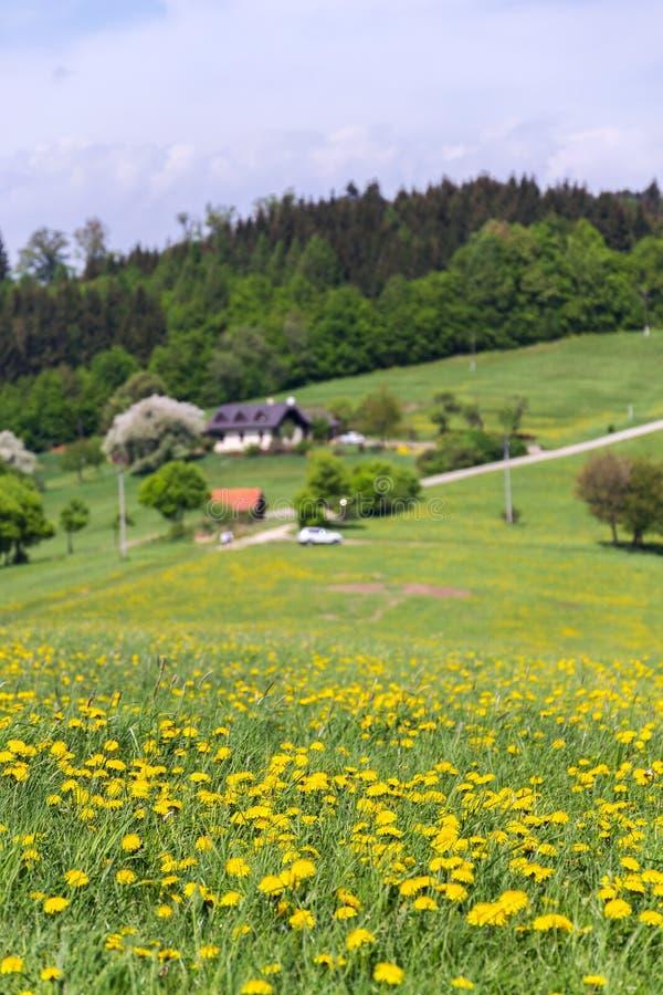 Schöne Sommerlandschaft mit blühendem gelbem Löwenzahn um Zitkova-Dorf, weiße Karpaten im Hintergrund lizenzfreie stockfotos
