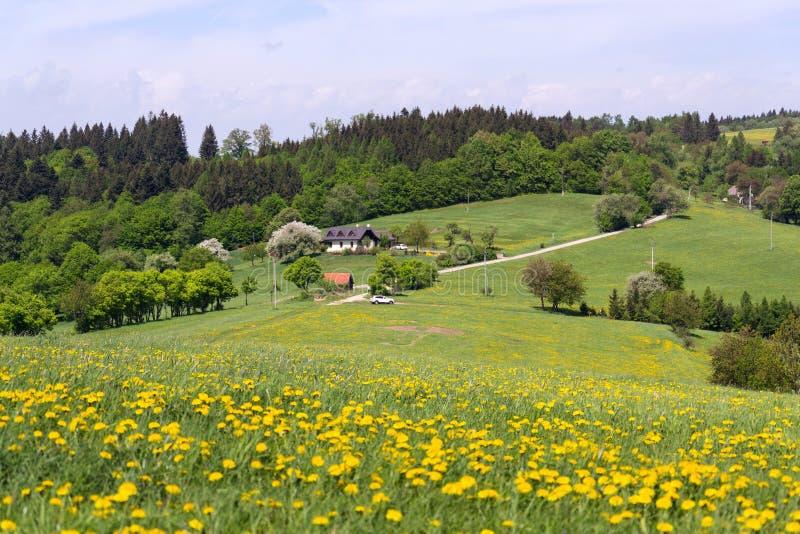 Schöne Sommerlandschaft mit blühendem gelbem Löwenzahn um Zitkova-Dorf, weiße Karpaten im Hintergrund lizenzfreies stockfoto