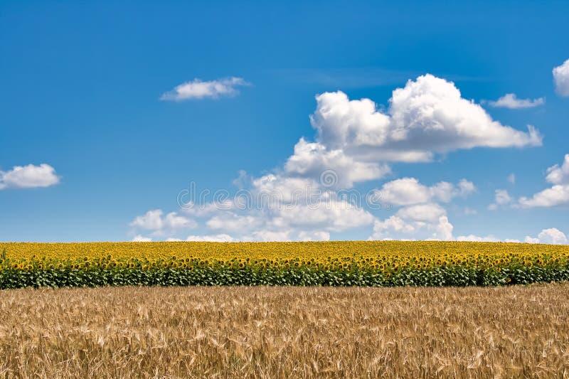 Schöne Sommerlandschaft mit dem Feld des Weizens und dem Feld einer Sonnenblume vor dem hintergrund des Himmels mit Wolken stockfoto