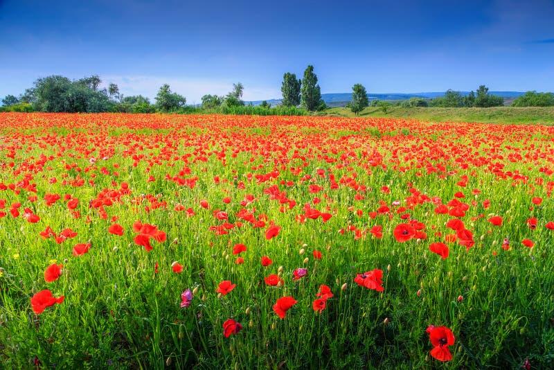Schöne Sommerlandschaft mit der roten Mohnblume archiviert lizenzfreie stockfotos