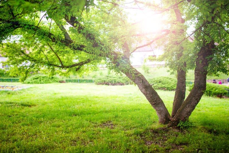 Schöne Sommerlandschaft mit einem Baum und einer Sonne strahlt im Park aus lizenzfreies stockbild