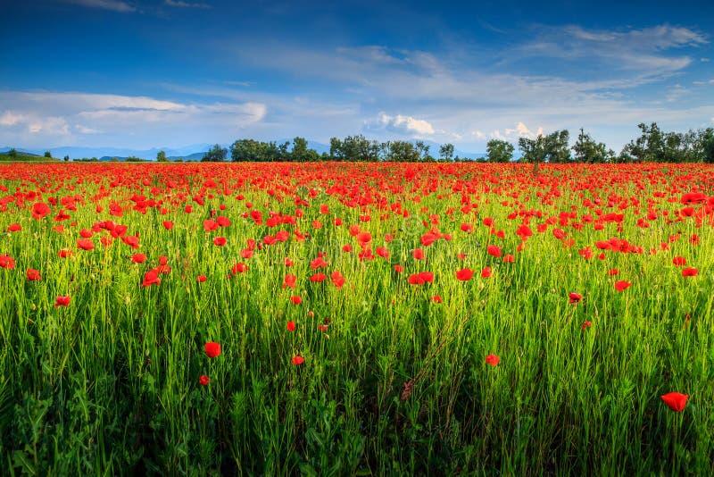 Schöne Sommerlandschaft mit rotem Mohnblumenfeld stockbilder
