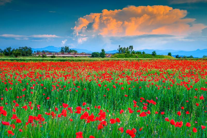 Schöne Sommerlandschaft mit rotem Mohnblumenfeld, nahe Brasov, Rumänien stockfotos