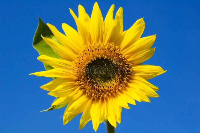 Schöne Sonnenblume stockfotografie