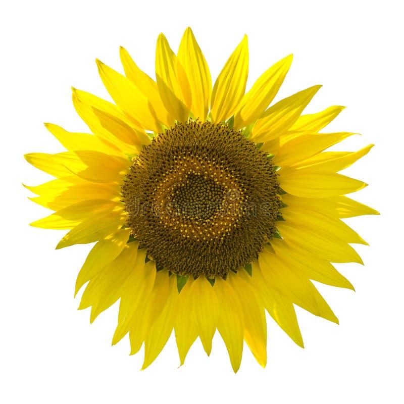 Schöne Sonnenblume auf weißem Hintergrund stockfotografie