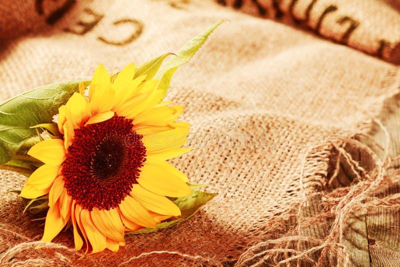 Schöne Sonnenblume in einem rustikalen Hintergrund lizenzfreie stockfotos