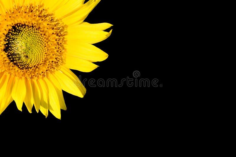 Schöne Sonnenblume, getrennt auf Schwarzem stockbilder