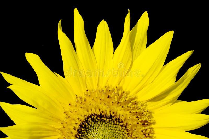 Schöne Sonnenblume, getrennt auf Schwarzem lizenzfreie stockbilder