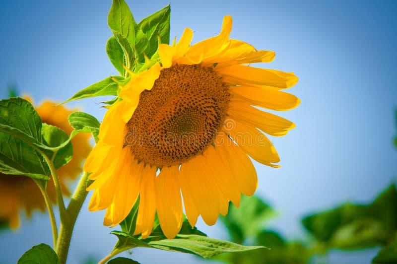 Schöne Sonnenblumen mit blauem Himmel stockbilder
