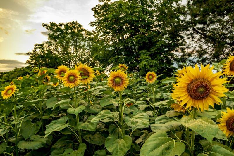 Schöne Sonnenblumenfelder nahe Stara Zagora Bulgarien stockfotos