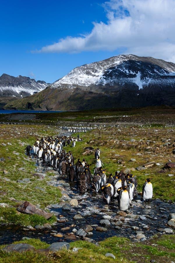 Schöne sonnige Landschaft mit großer Kolonie, Pinguinen, die im Strom führt zurück zu einem See stehen und Bergen Königs Pen stockfotografie