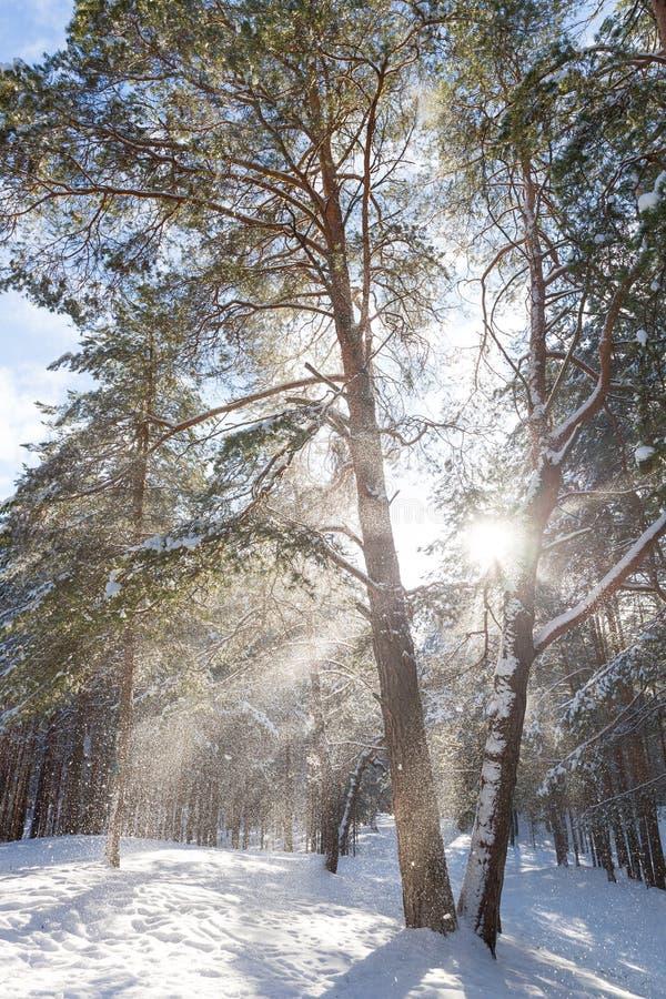 Schöne sonnige Landschaft - Wintertag in den Waldkiefern und -sonne Portrait eines tragenden wei?en Kleides des sch?nen M?dchens stockbilder