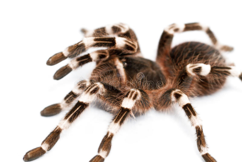 Schöne Spinne stockbild