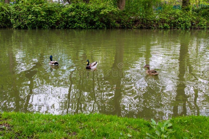 Schöne Stockenten im Fluss Avon, Bad, England stockbild