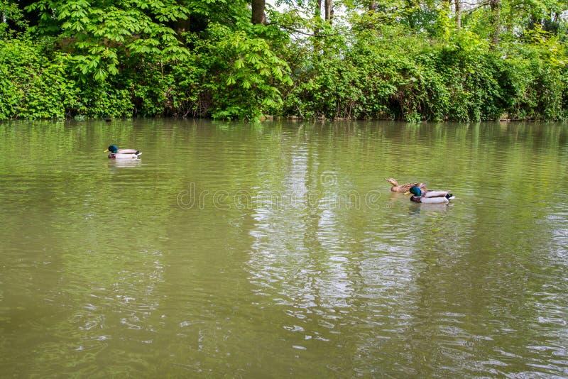 Schöne Stockenten im Fluss Avon, Bad, England lizenzfreies stockbild