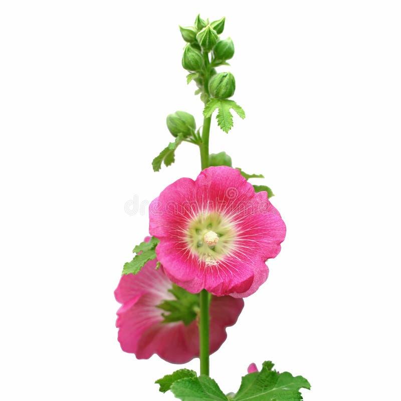 Schöne Stockroseblume oder althaea Blume lizenzfreies stockfoto