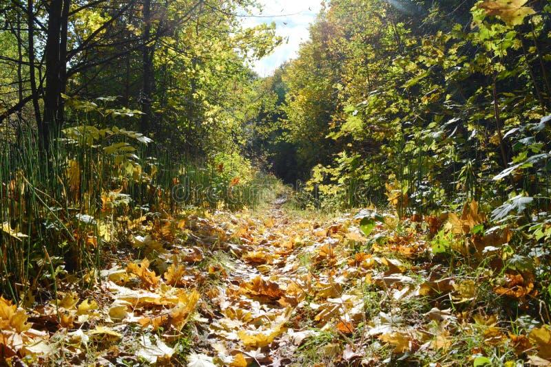 Schöne Szene mit Weg mit gefallenen Ahornblättern im Herbst Feenhafte Landschaft am Waldsonnigen Tag in der Herbstsaison stockbild