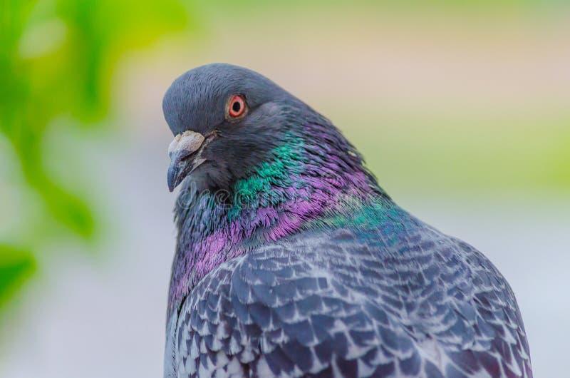 Schöne Taubennahaufnahme auf einem unscharfen Hintergrund Das Foto zeigt eine Taube, die mit einem genauen Blick halb-gedreht wir stockfotografie