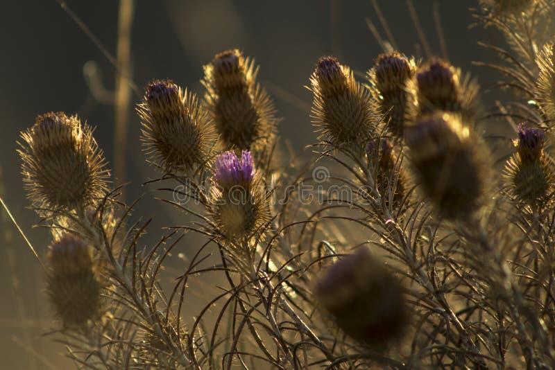 Schöne trockene Klettennahaufnahme Purpurrote Distelblume lizenzfreie stockfotografie