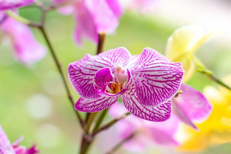 Schöne tropische exotische Niederlassung mit Rosa und magentarote Motte Phalaenopsis-Orchideenblumen im Wald auf hellgrünem Hinte stockfotografie