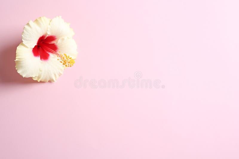 Schöne tropische Hibiscusblume stockbild