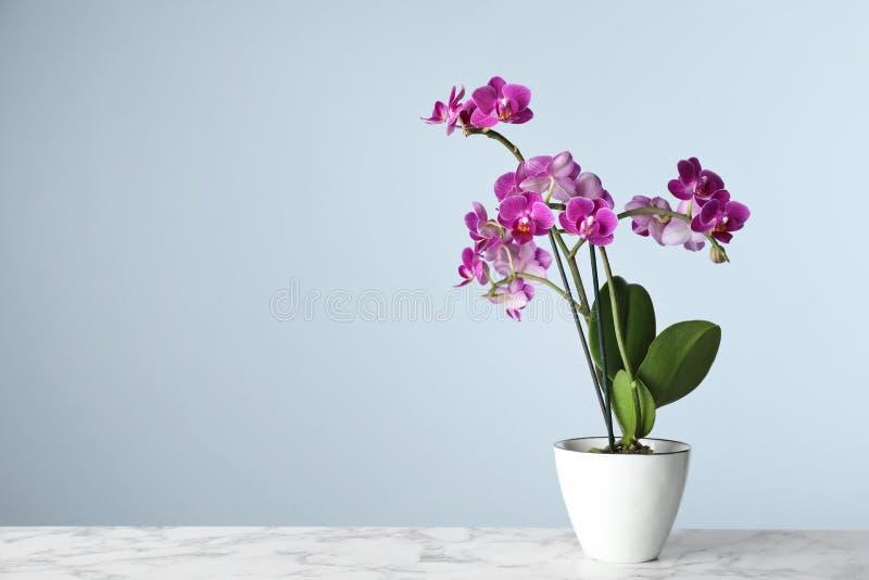 Schöne tropische Orchideenblume im Topf auf Marmortabelle gegen hellblauen Hintergrund lizenzfreie stockbilder