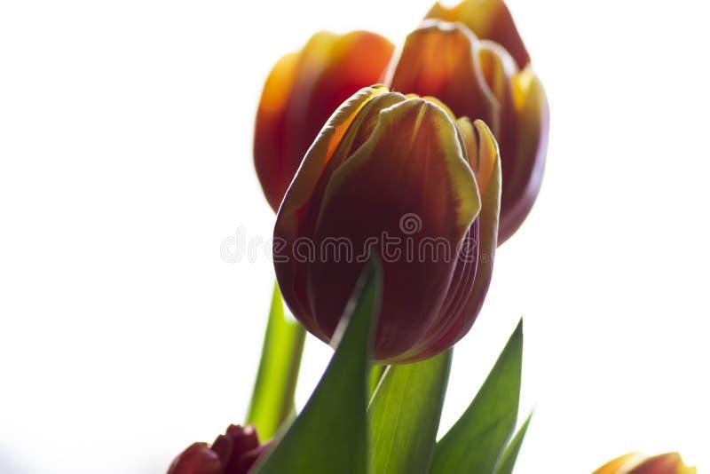Schöne Tulpenblume blühende Natur als sie beste bunte lokalisierte Blumen auf einem hellen Hintergrund lizenzfreies stockfoto