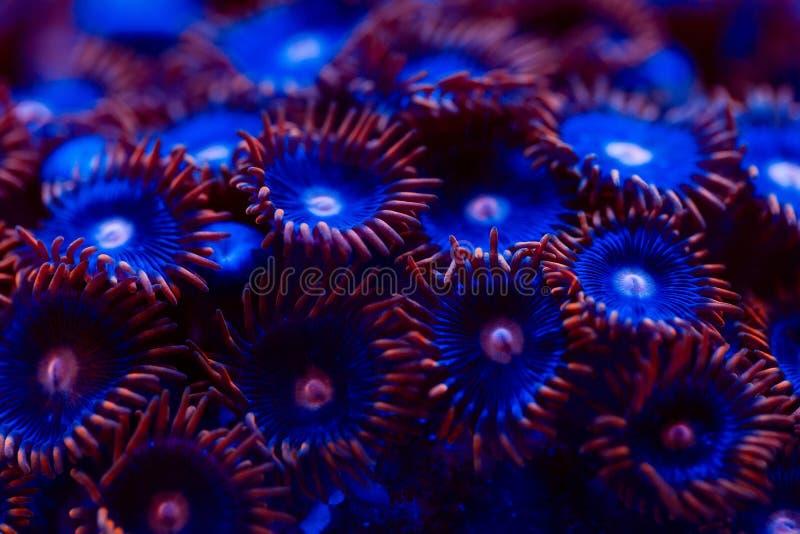 Schöne und bunte Korallen in einem Marineaquarium stockbild