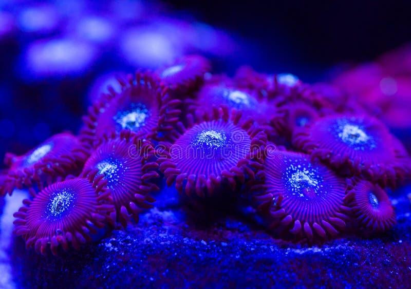 Schöne und bunte Korallen in einem Marineaquarium stockbilder