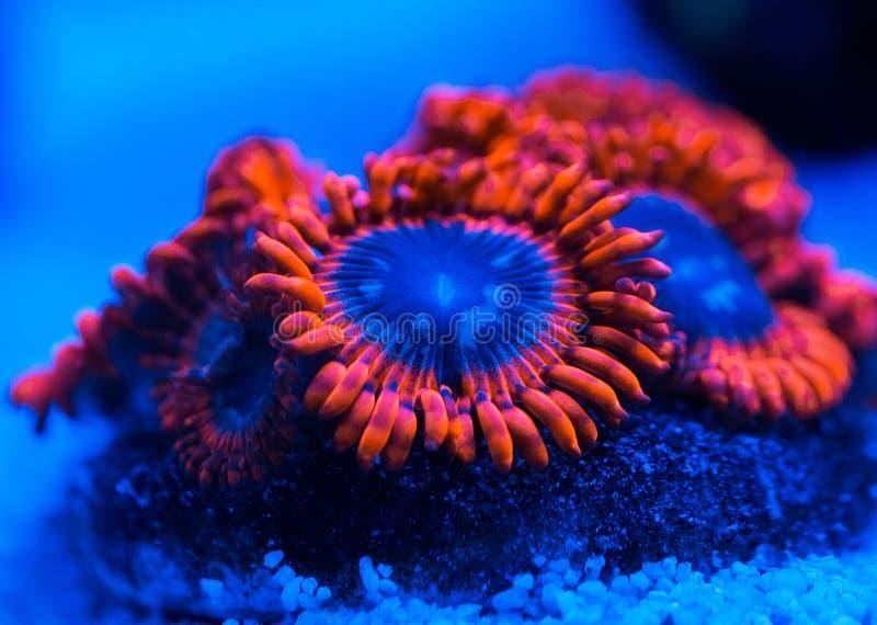 Schöne und bunte Korallen in einem Marineaquarium stockfoto