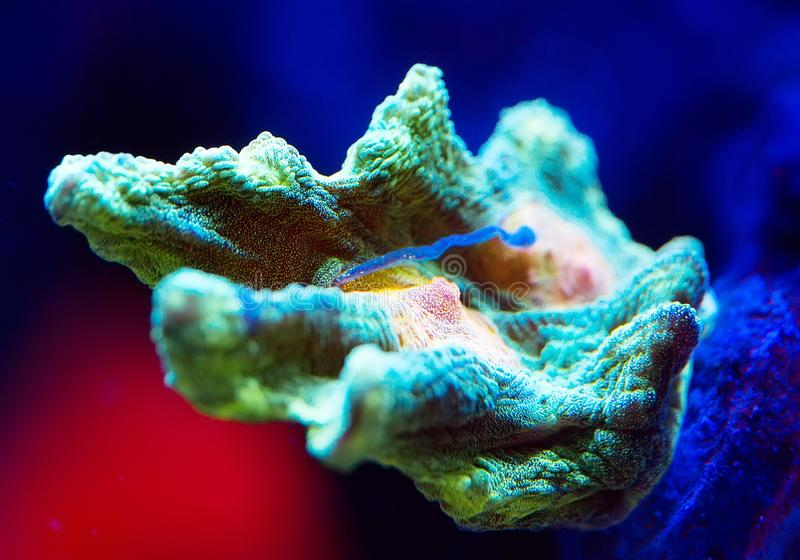Schöne und bunte Korallen in einem Marineaquarium lizenzfreies stockbild