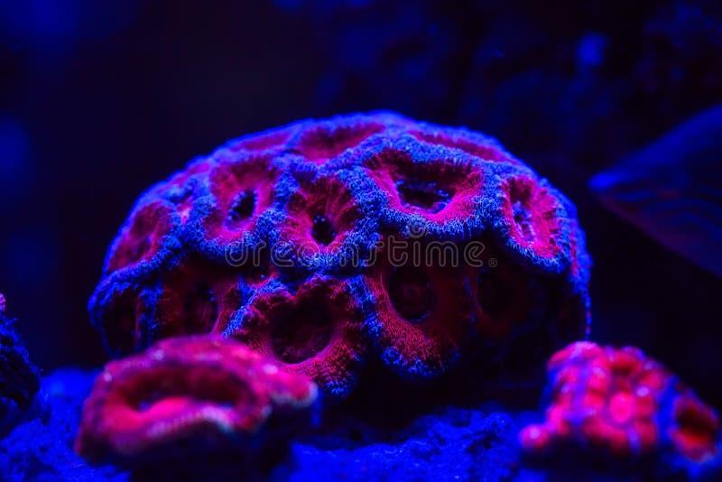 Schöne und bunte Korallen in einem Marineaquarium lizenzfreie stockfotos