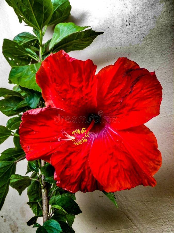 Schöne und dekorative rote Hibiscus-Blumen-Anlage lizenzfreie stockbilder