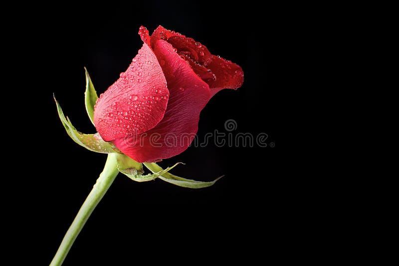 Schöne und frische rote Rose Bathed im Morgen-Tau auf einem schwarzen Hintergrund lizenzfreie stockfotografie
