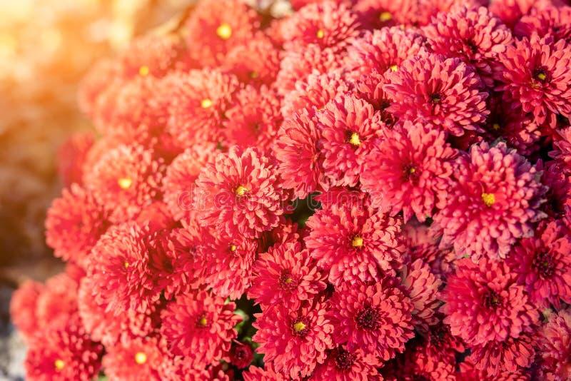 Schöne vibrierende korallenrote Chrysantheme blüht Teppichhintergrund mit sunflare am hellen Herbstsonnenuntergangabend stockfotografie