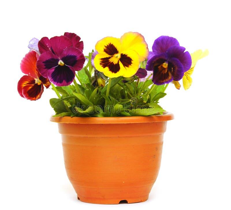 Schöne violette Blume im Potenziometer lizenzfreie stockfotos