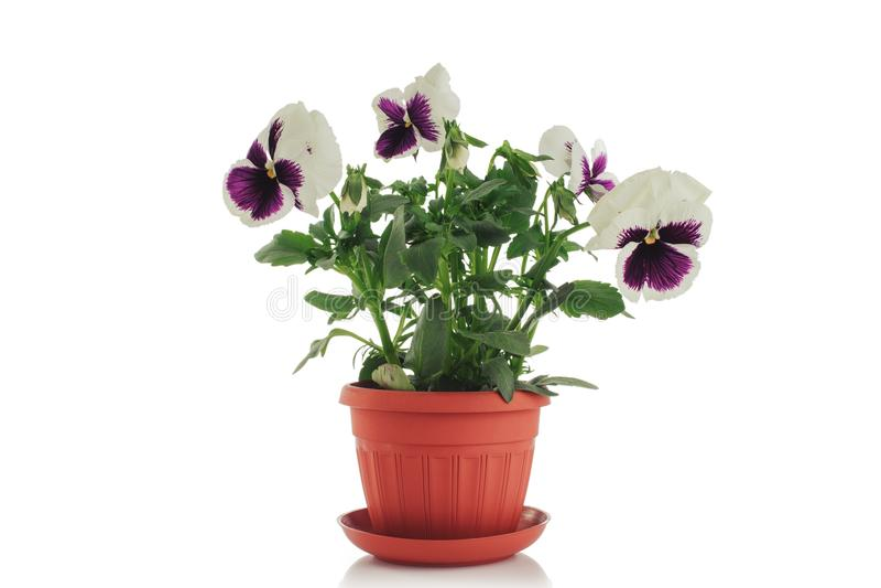 Schöne violette Blume im Potenziometer getrennt auf weißem Hintergrund lizenzfreie stockbilder