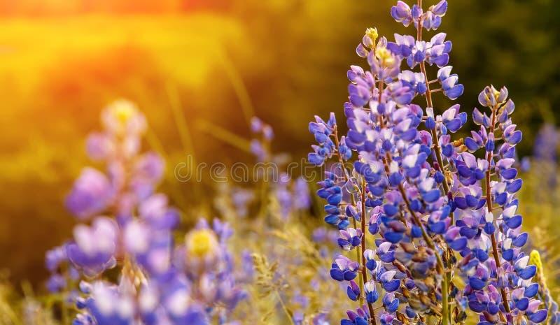 Schöne violette Lupineblume bei Sonnenuntergang in der Sommerzeit Kleine Schärfentiefe stockfoto