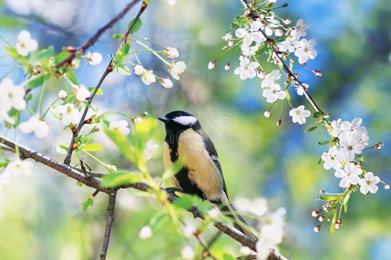 schöne Vogelmeise, die auf einer Niederlassung von Kirschblüten sitzt lizenzfreie stockbilder