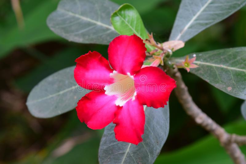 Schöne Wüstenrose im Garten lizenzfreie stockfotos