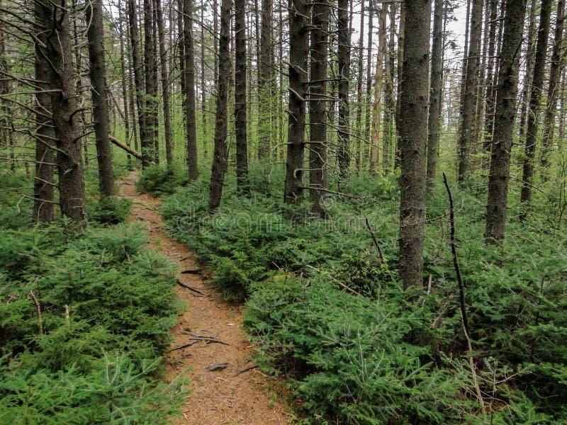 Schöne Wanderwege durch Pinien in New Hampshire, USA lizenzfreie stockfotos