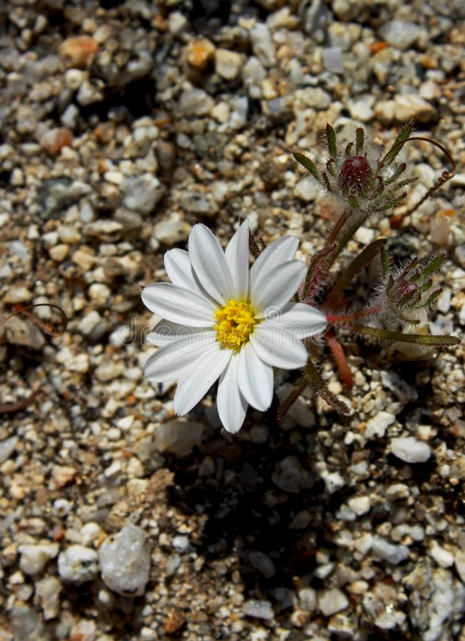 Schöne weiße Blume des Wüstensternes, Wüsten-Nationalpark Anza Borrego lizenzfreie stockfotografie