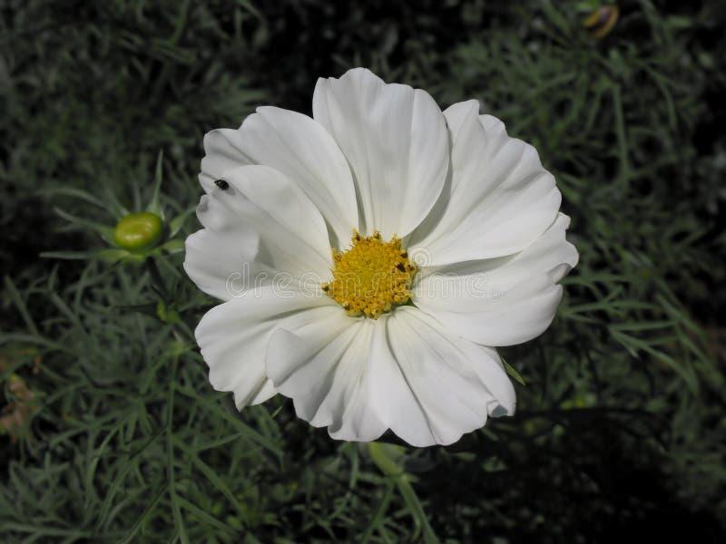 Schöne weiße Blume mit Visitant stockbild