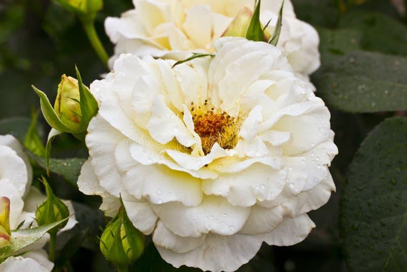 Schöne weiße Blume Weißer Rosenbusch Horizontaler Sommer blüht Kunsthintergrund Raum im Hintergrund für Kopie, Text, Ihre Wörter stockbilder