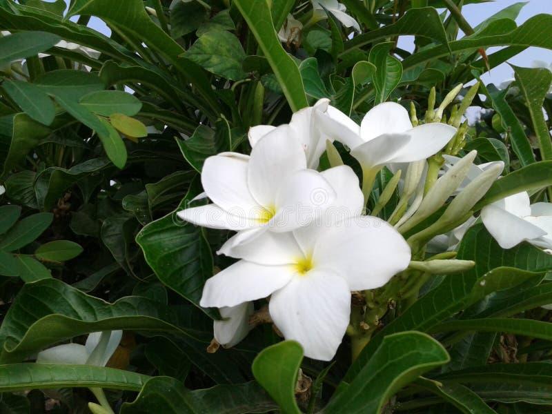 Schöne weiße Blumen stockbild