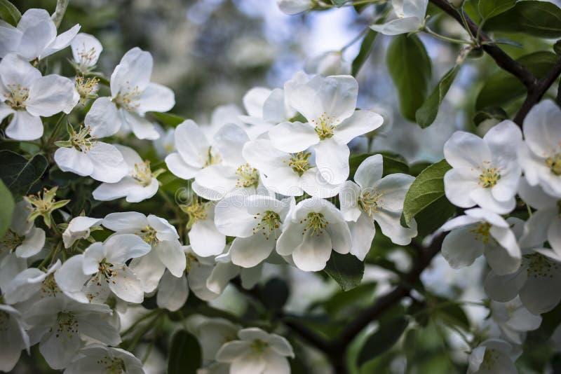 Schöne weiße Blumen eines Apfelbaums im grünen Laub, gegen einen blauen Himmel lizenzfreie stockfotografie