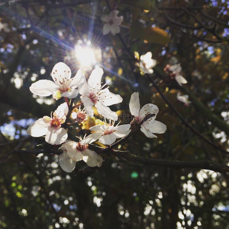 Schöne Weiße Blumen Mit Sun, Der Durch Die Bäume Scheint Stockbild ...