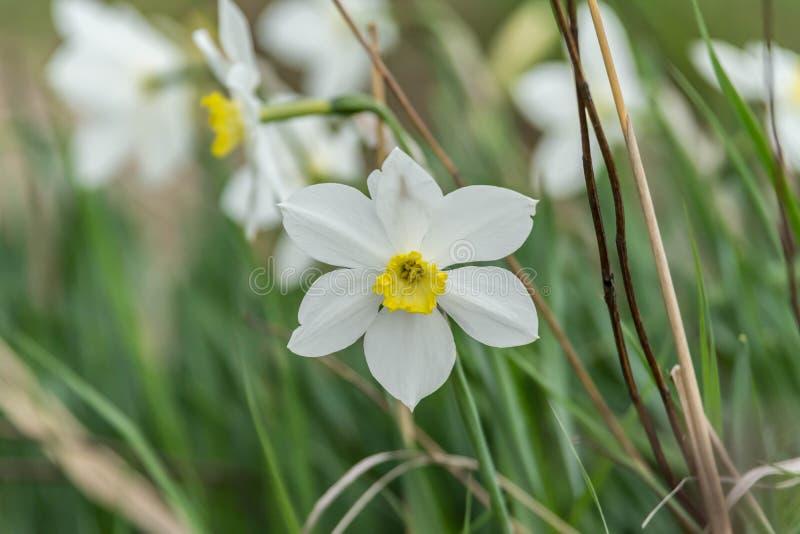 Schöne weiße Blumen von Anemonen im Frühjahr in einer Waldnahaufnahme im Sonnenlicht in der Natur lizenzfreies stockfoto