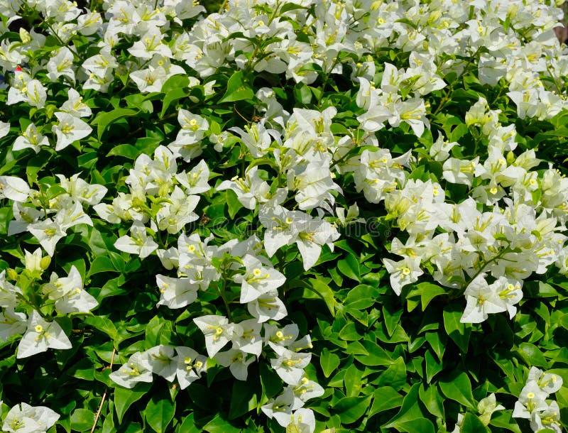 Schöne weiße Bougaville-Blume lizenzfreies stockfoto